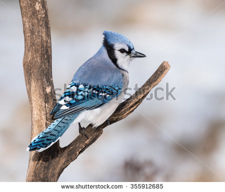stock-photo-blue-jay-in-winter-355912685.jpg